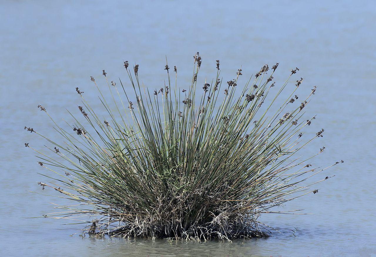 Vista del Juncus maritimus en hábitat