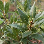 El laurel es un árbol perennifolio
