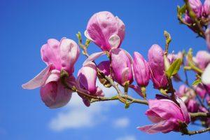 Las magnolia tienen flores grandes