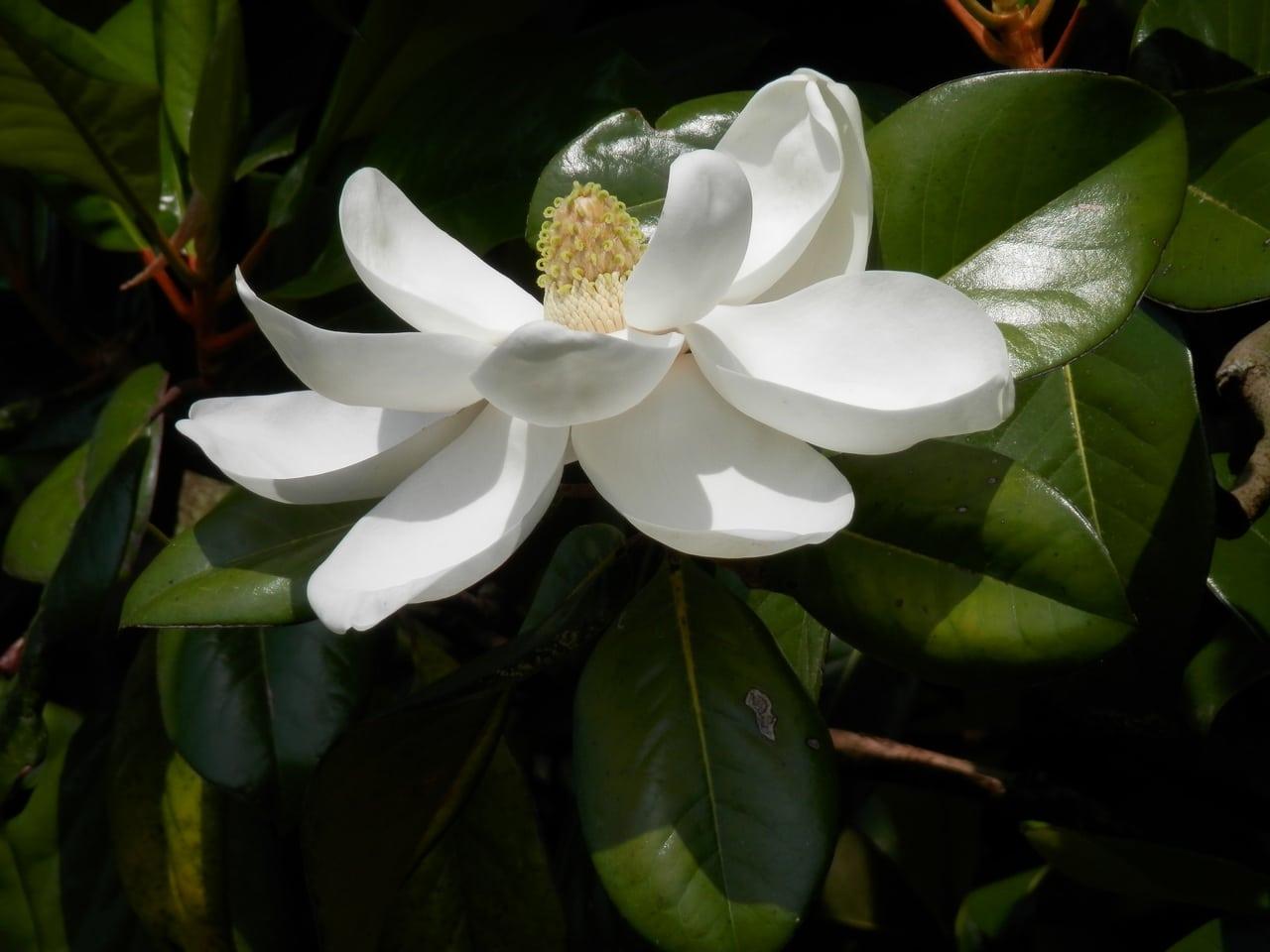 La Magnolia grandiflora produce flores blancas