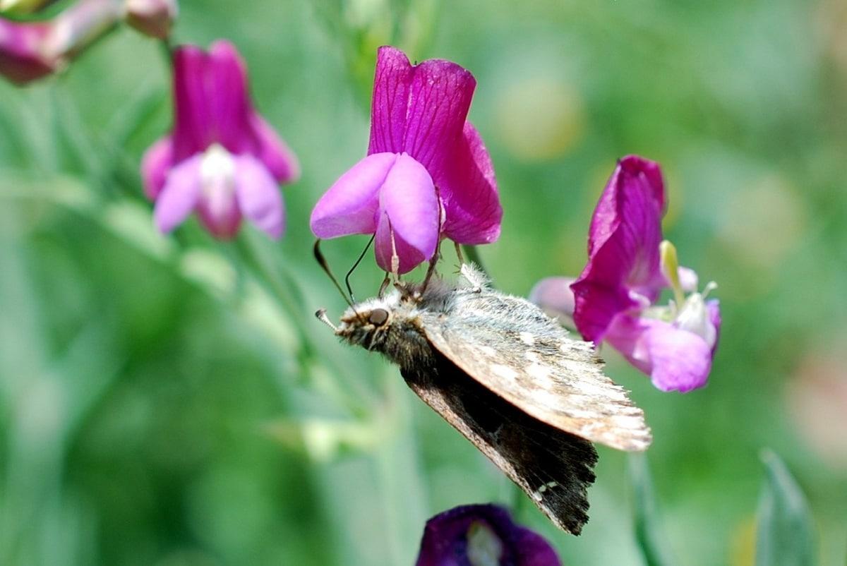 mariposa posada en una flor de la Lathyrus clymenum