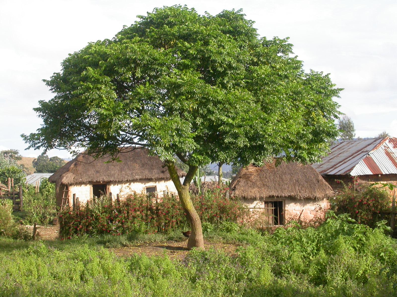 La Melia es un árbol caducifolio