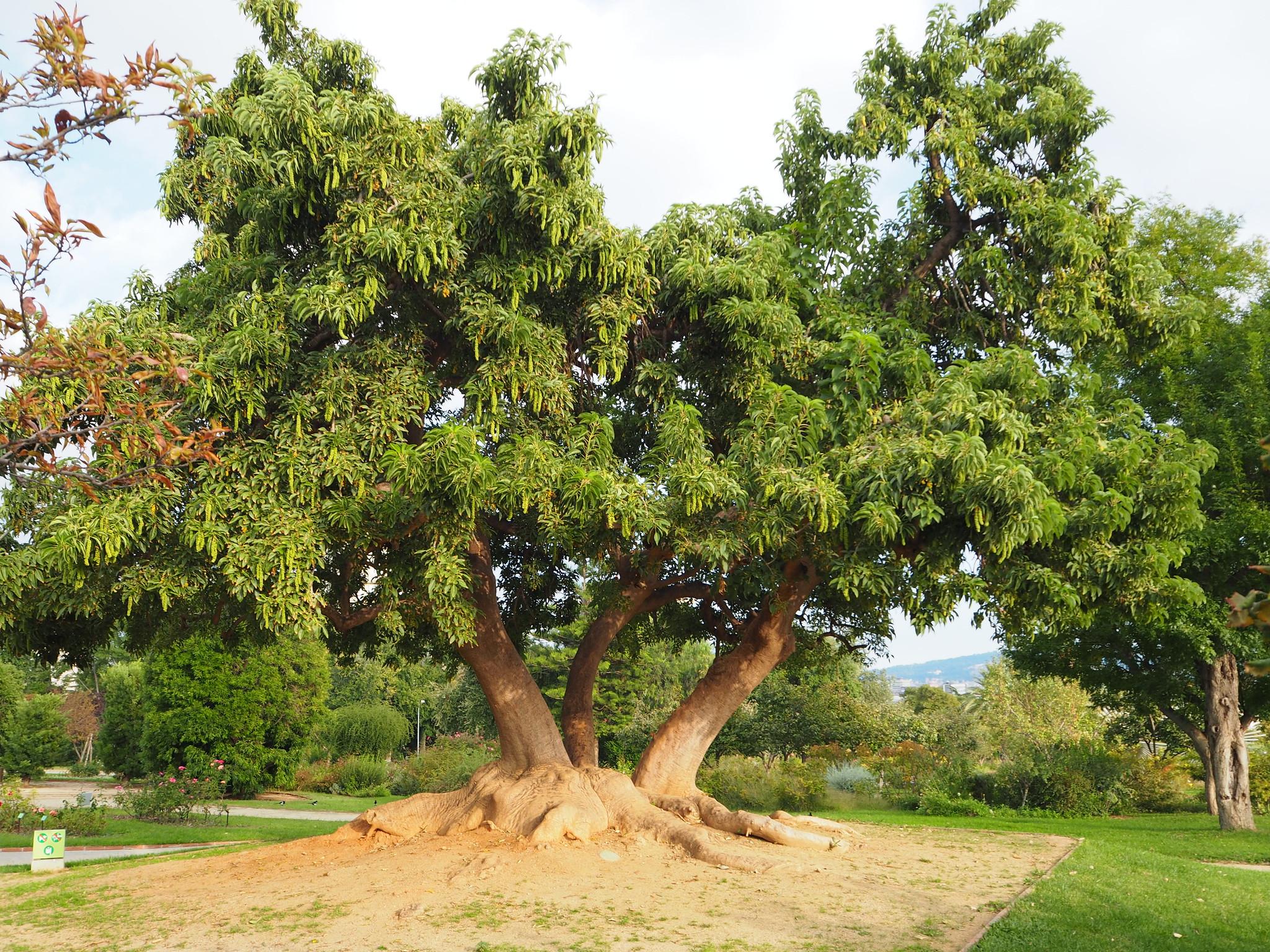 Vista del árbol de ombú