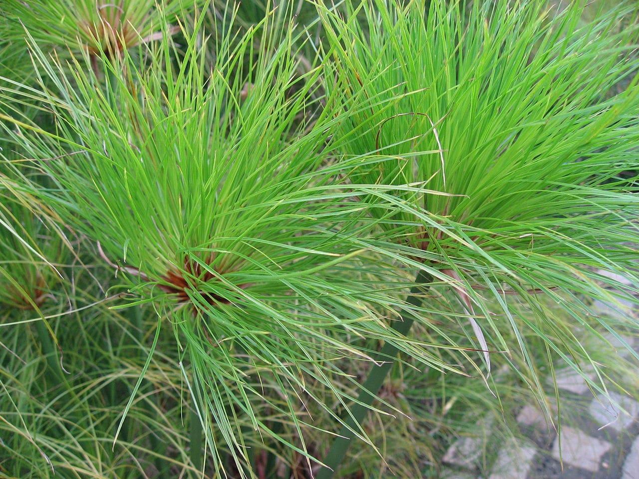 El papiro es una planta de junco