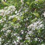 Vista de la Photinia glabra en flor