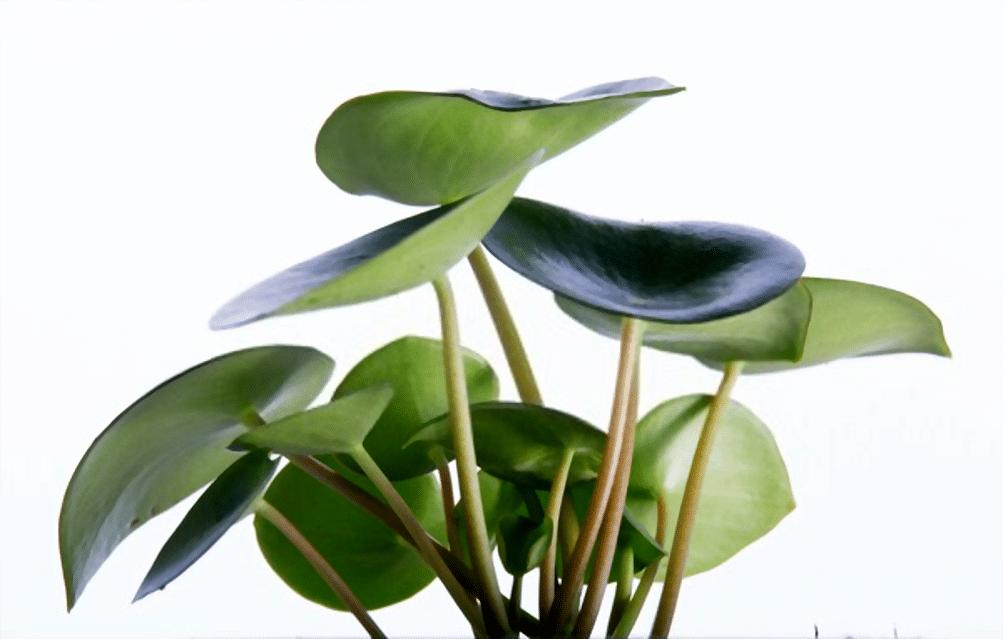 planta con hojas grandes y verdes