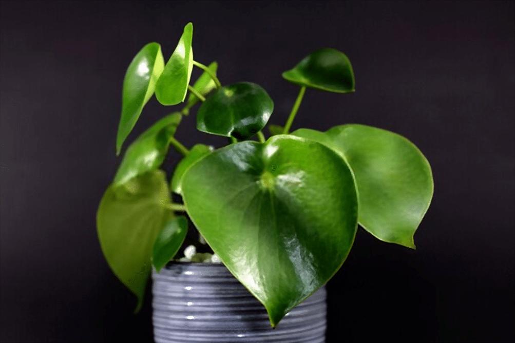 planta en lata con grandes hojas verdes