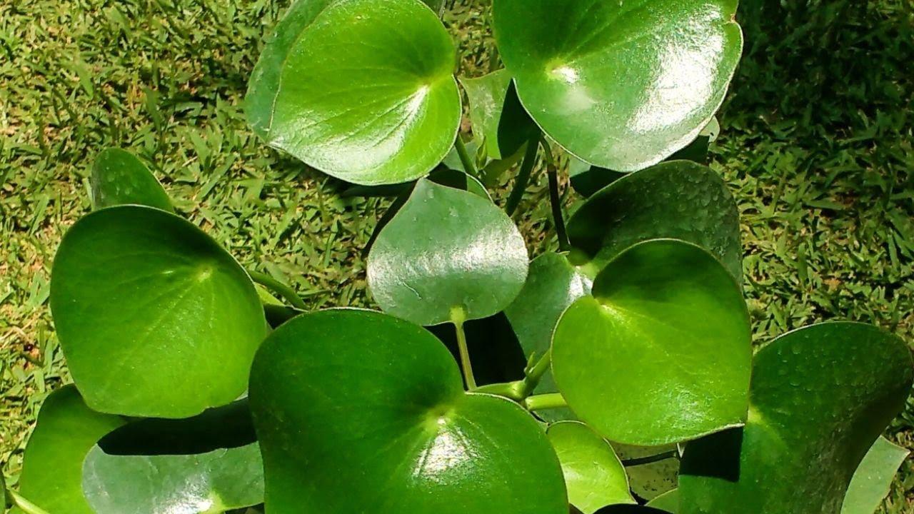 preciosa planta con hojas grandes y muy verdes