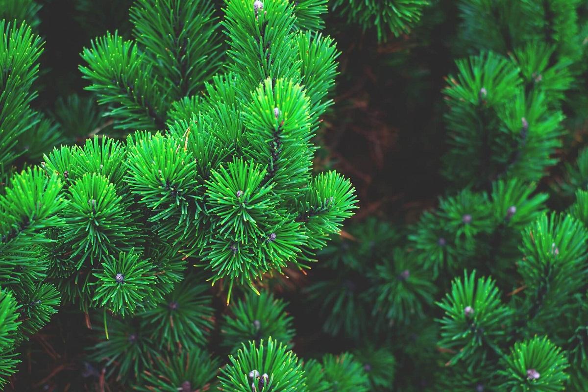 ramas de pinos totalmente sanos antes de enfermar por una plaga