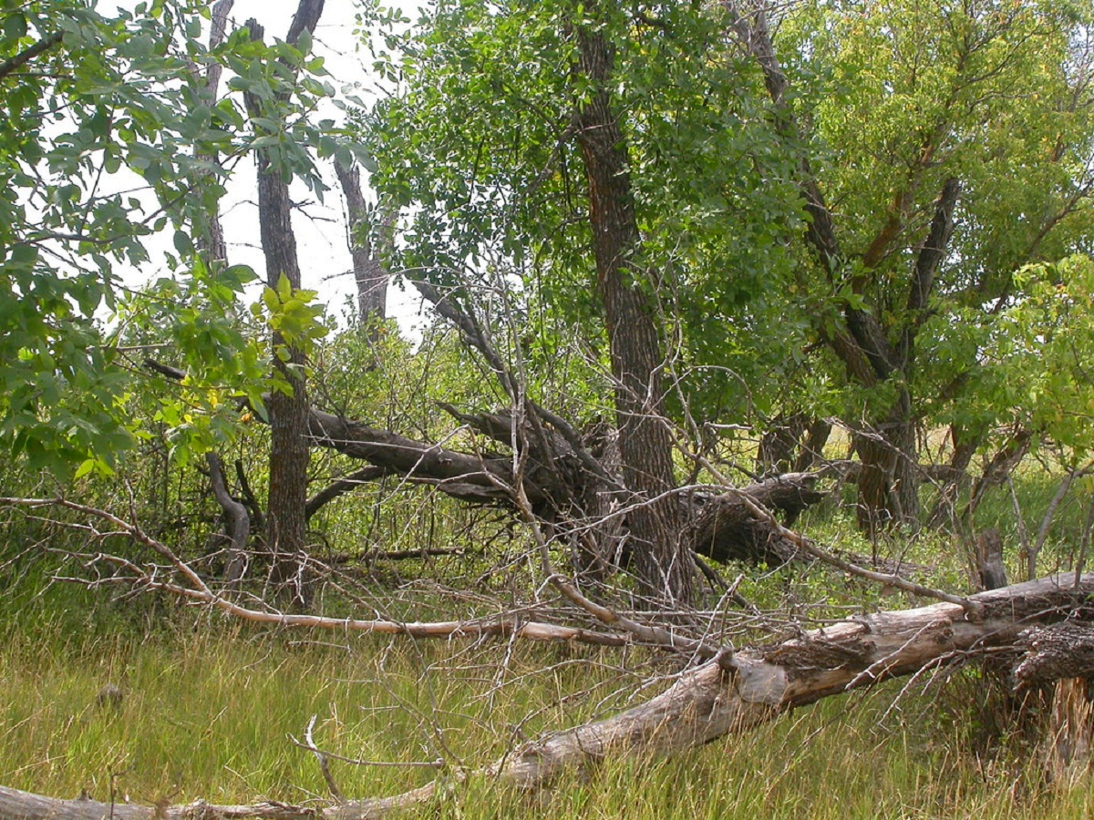 ramas viejas y caidas del fresno verde