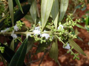 Algodoncillo del olivo