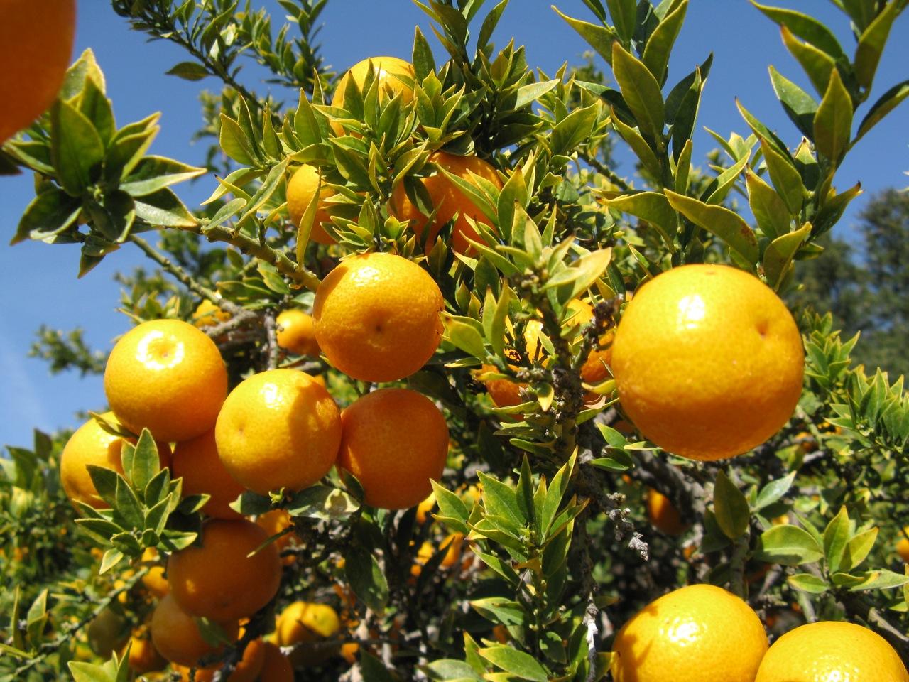 Los frutos del chinoto se parecen a las naranjas