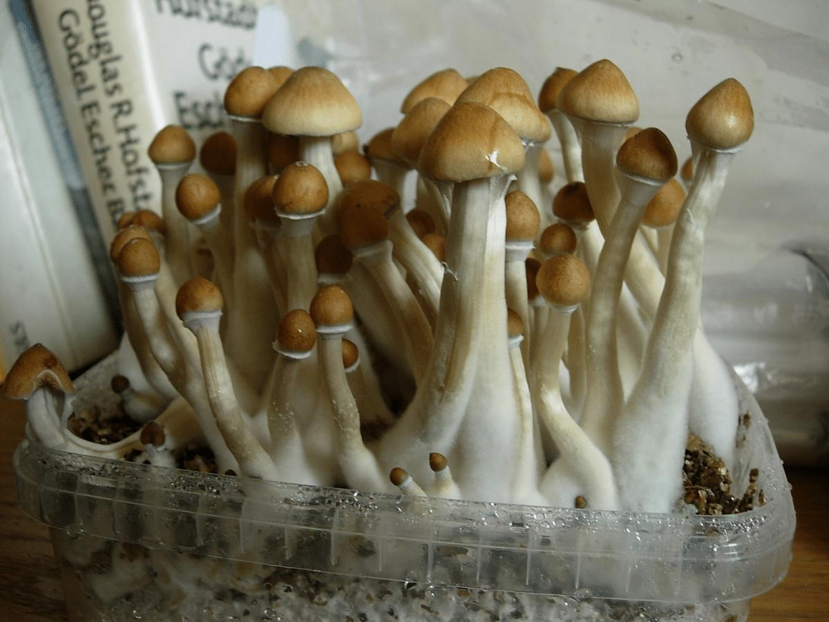 Cultivo de Psilocybe cubensis