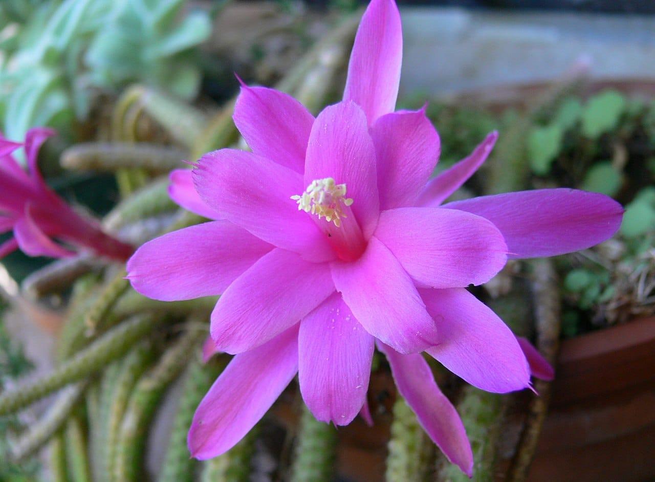 El Disocactus es un cactus colgante