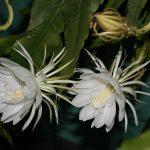 Epiphyllum, un cactus colgante o trepador que crece rápido