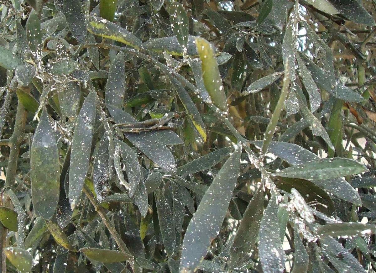 Euphyllura olivina actuando