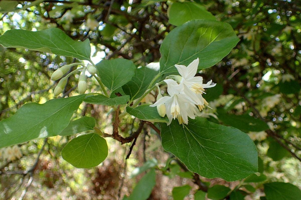 flor del estoraque