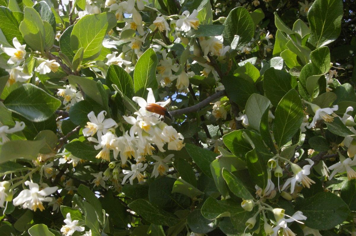 Floración del estoraque