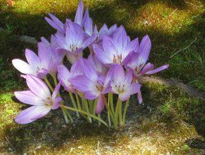Flores del Colchicum autumnale