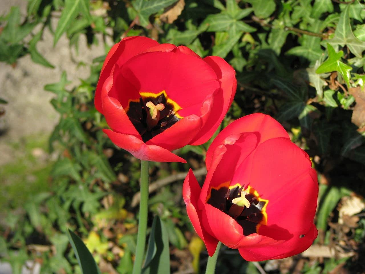 El Tulipa gesneriana es una bulbosa