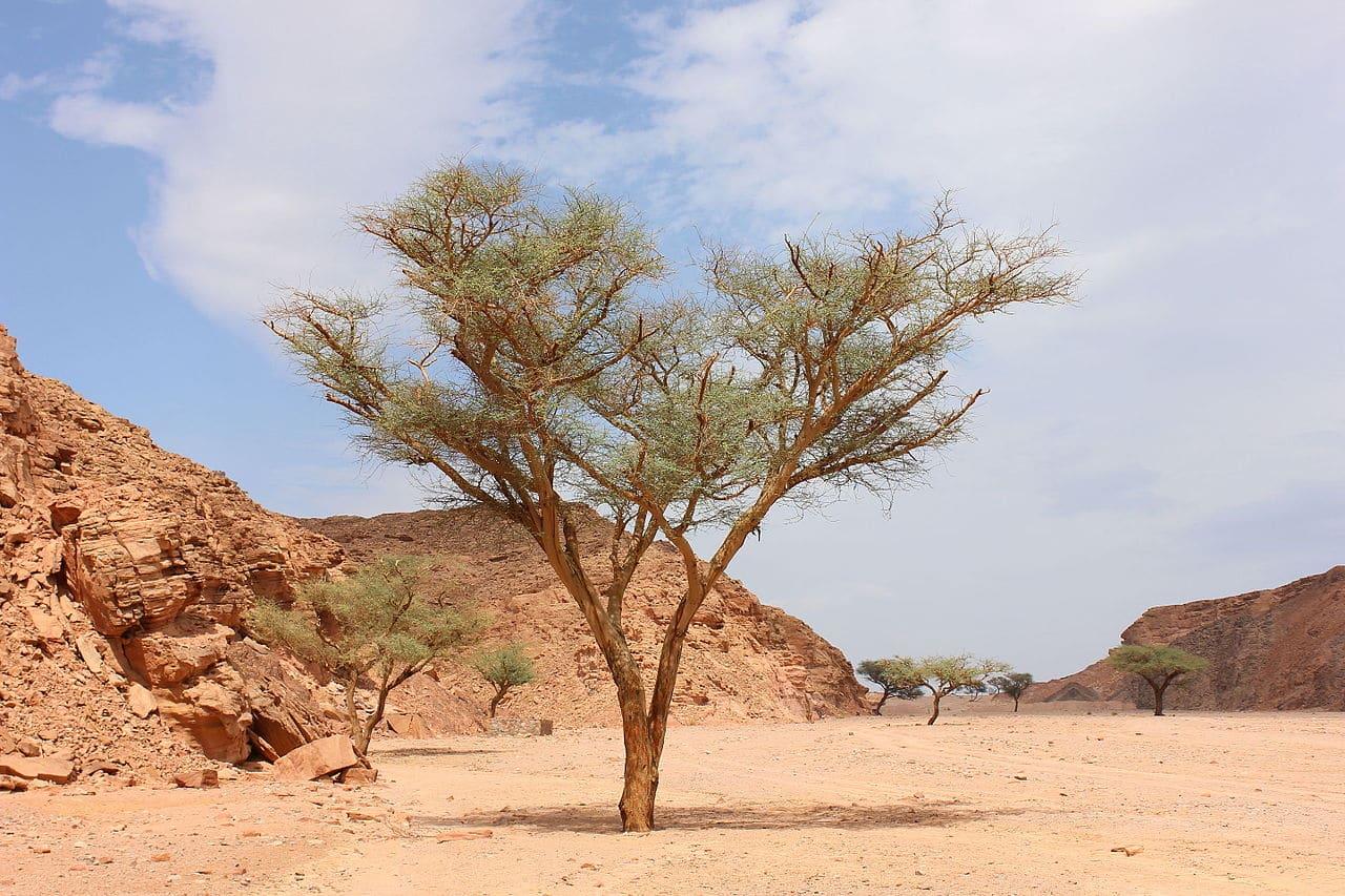 Muchas acacia viven en el desierto