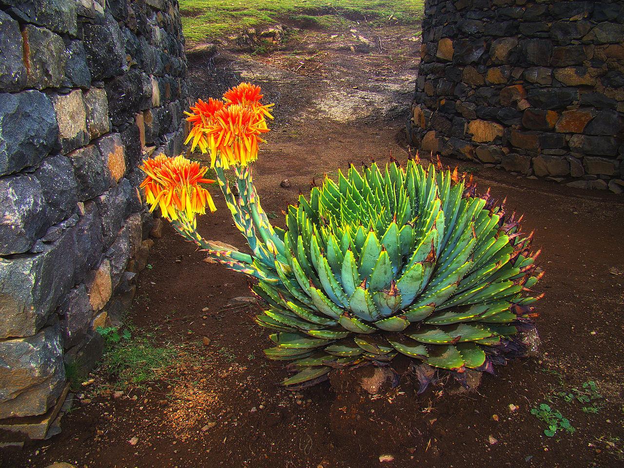 El Aloe polyphylla florece una vez al año