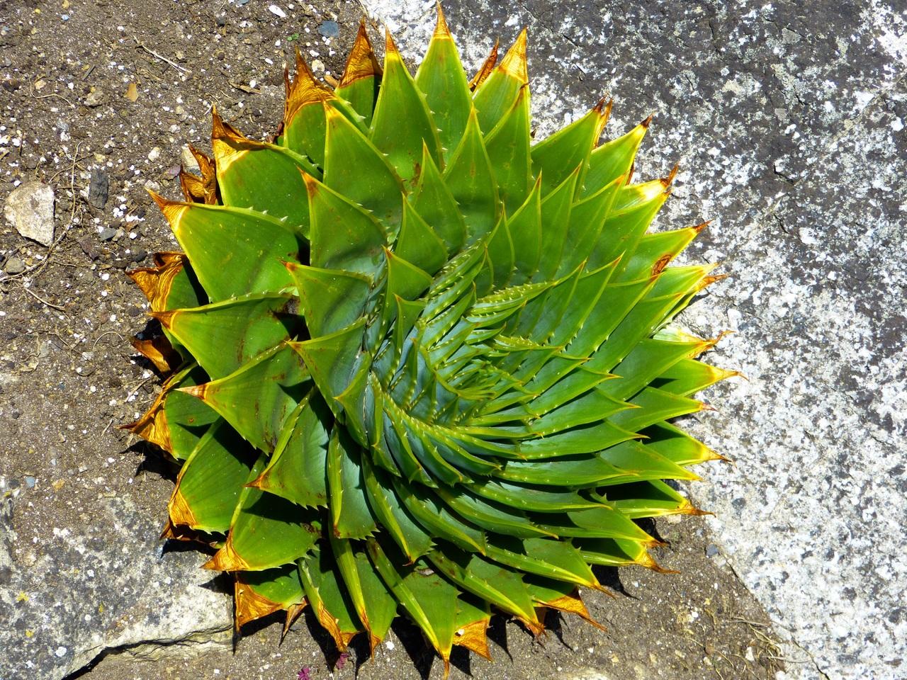 El Aloe polyphylla es una planta ornamental