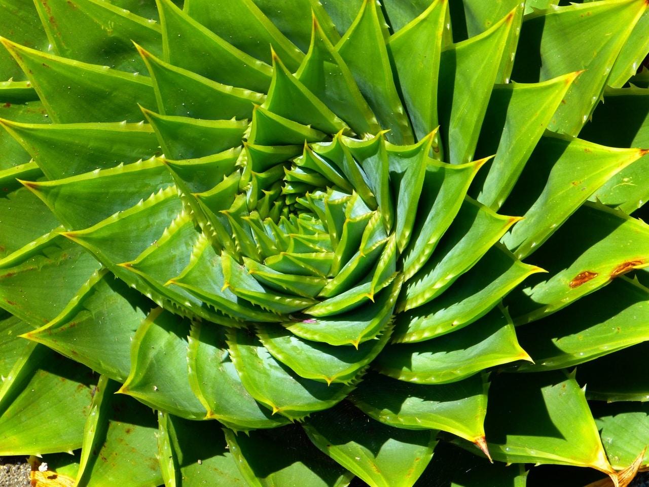 El Aloe polyphylla es una suculenta perenne