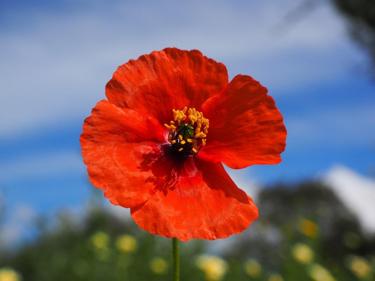 La amapola roja es una hierba