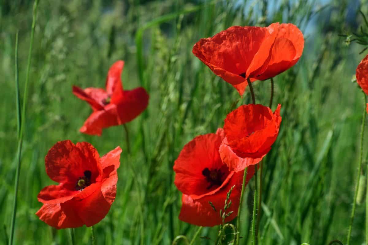 La amapola es del género Papaver y es una flor silvestre