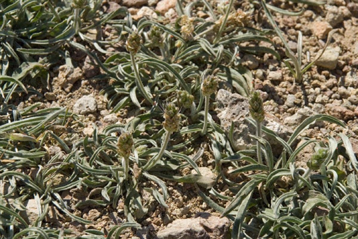 arbusto con aspecto seco llamado Plantago albicans