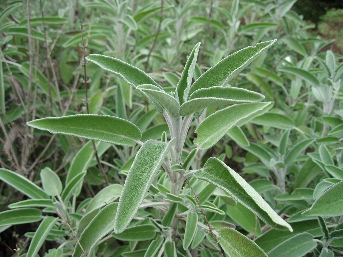 arbusto con hojas verdes de Salvia Blanca