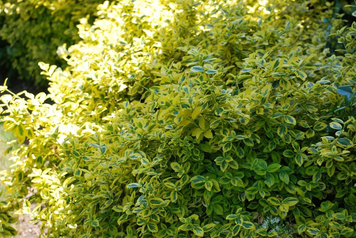 arbusto con pequenas hojitas llamado Euonymus fortunei