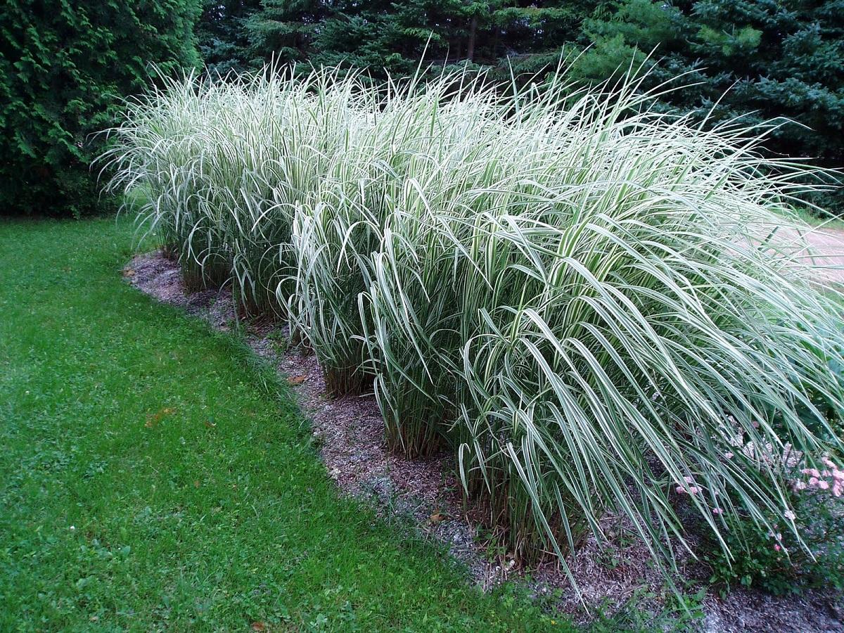 arbusto en forma de seto que sirve para decorar