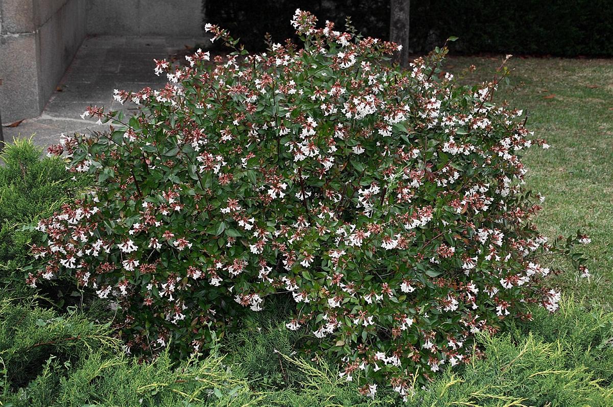 arbusto en medio de un jardin con flores blancas