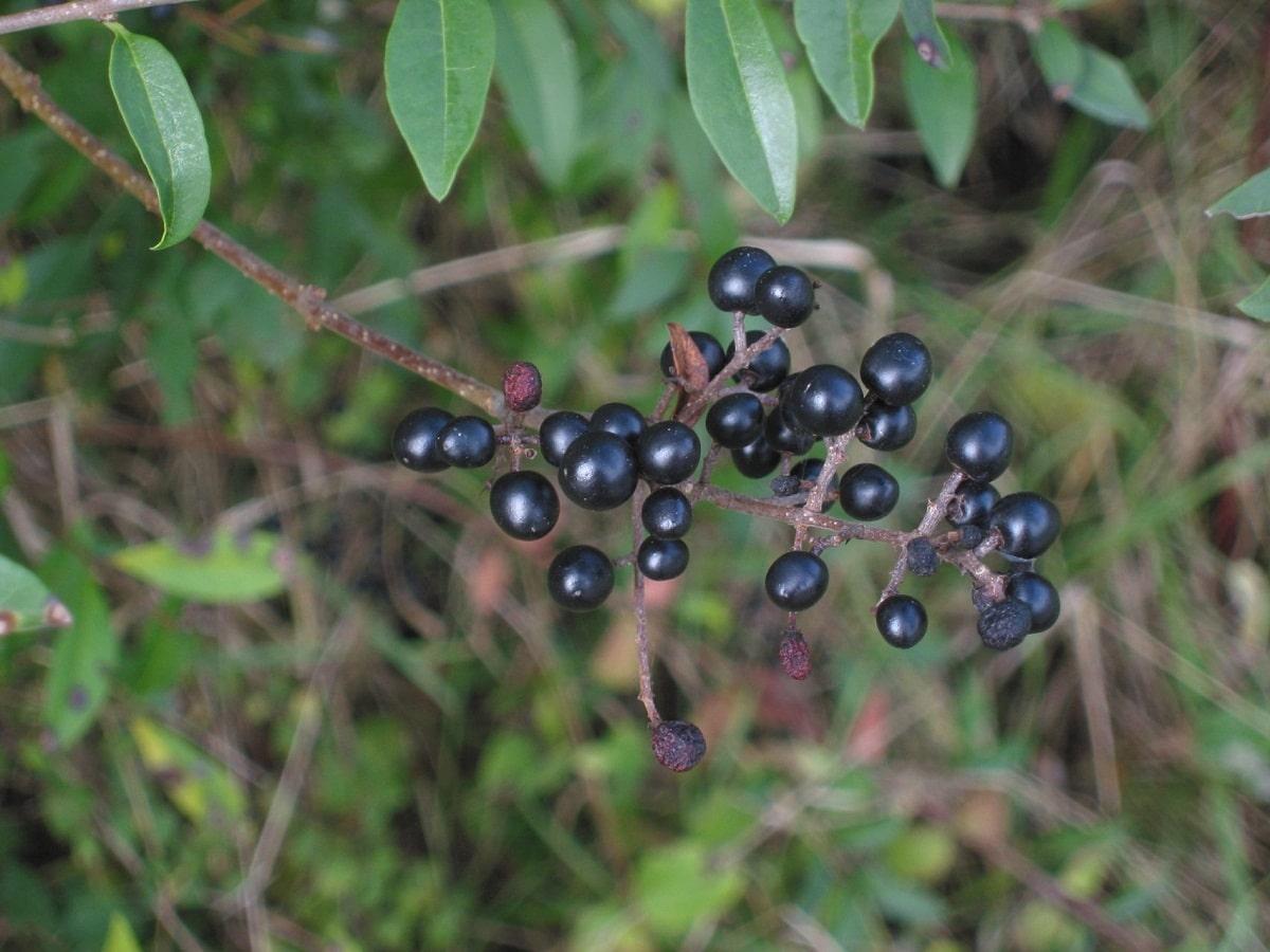 arbusto llamado Ligustrum Vulgare lleno de bayas