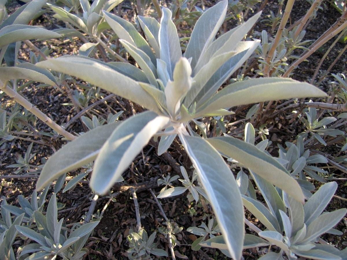 arbusto sin flor llamado Salvia Blanca