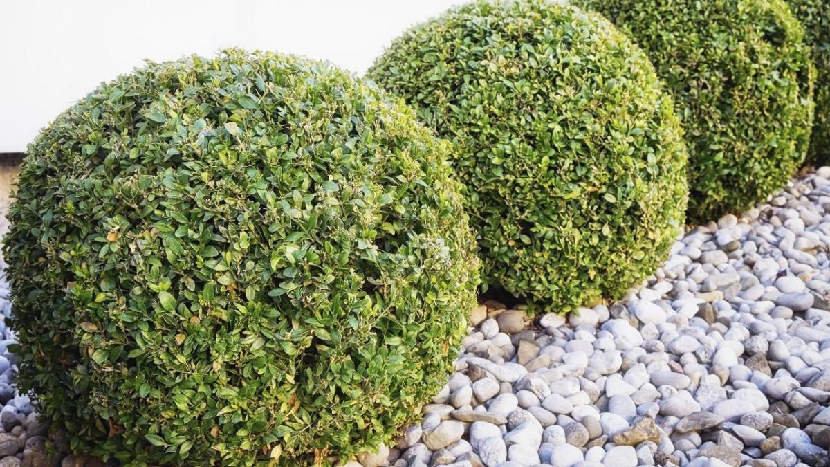 arbustos recortados en forma de setos redondos