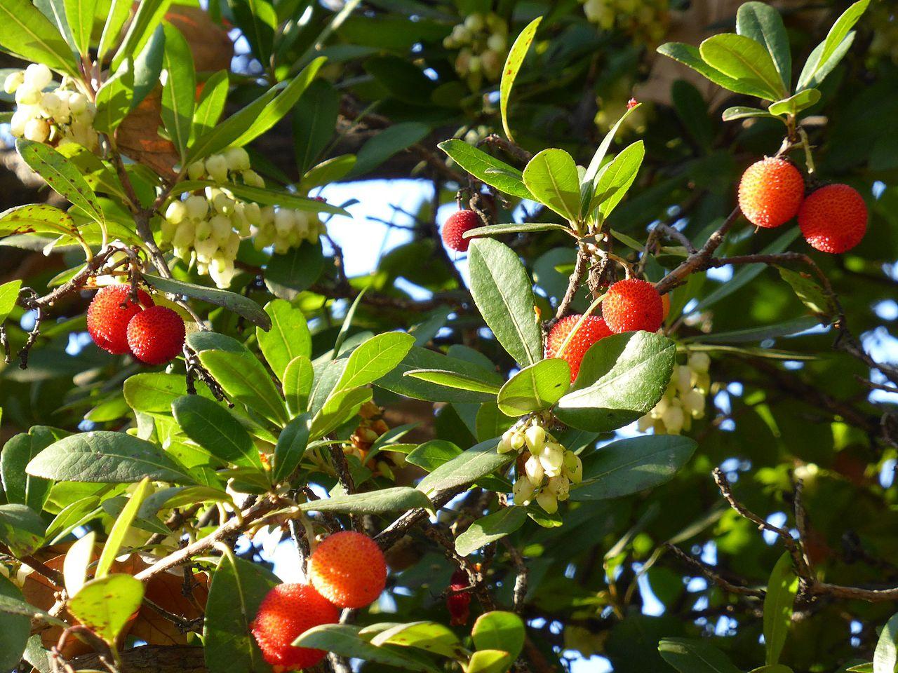 El madroño es un árbol perenne y pequeño