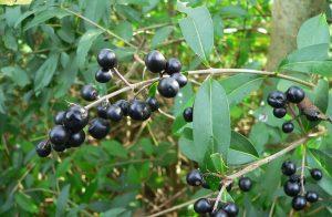 bayas de color negro que salen de un arbusto