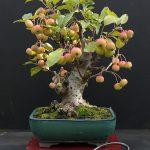 El bonsái de manzano produce frutos