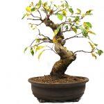 El bonsái de manzano es fácil de cuidar