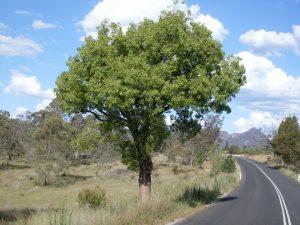 El Brachychiton populneus es un árbol perennifolio