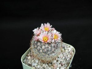 Consigue que tus cactus crezcan rápido con nuestros consejos