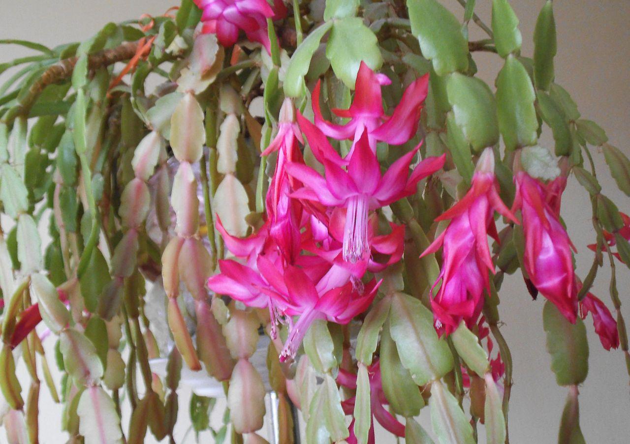 El cactus de navidad es una suculenta que da flores rosas