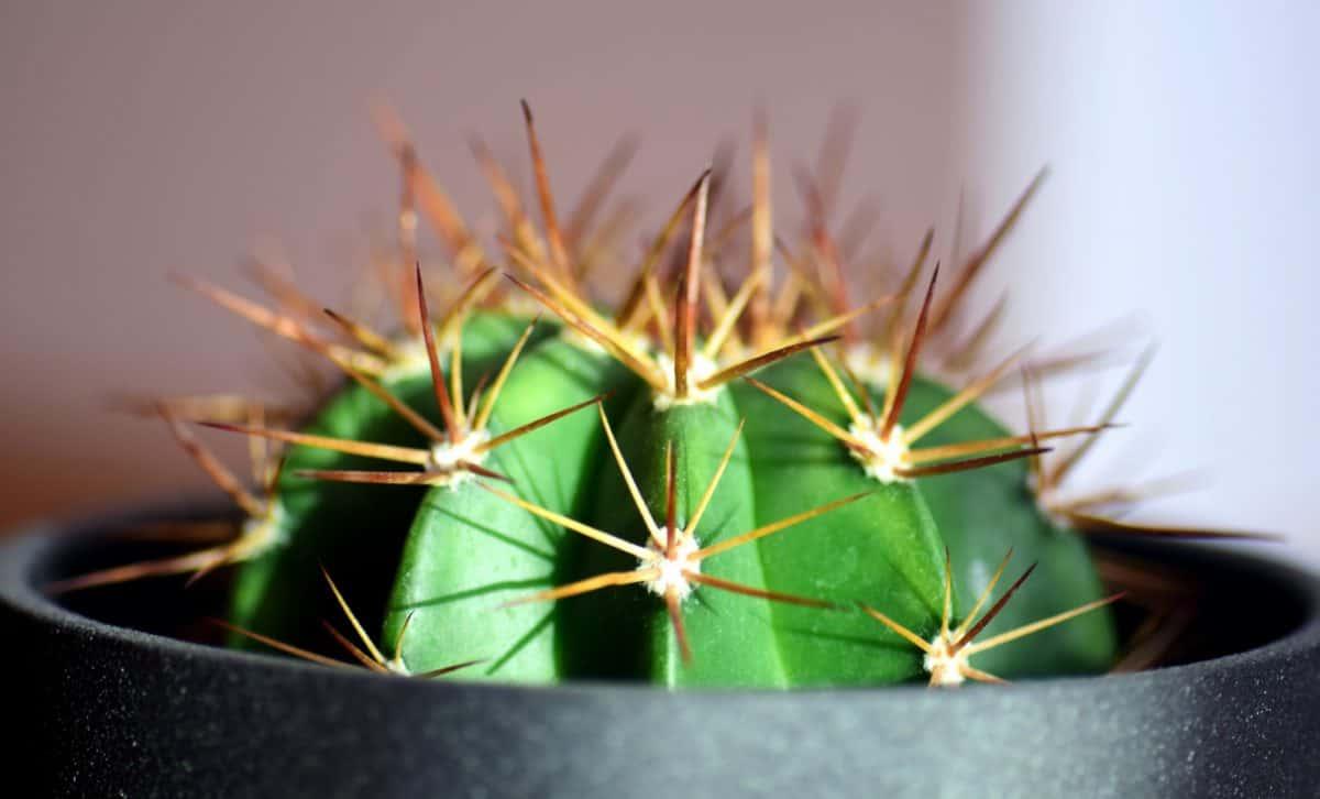 Los cactus en maceta se han de ir trasplantando cada cierto tiempo