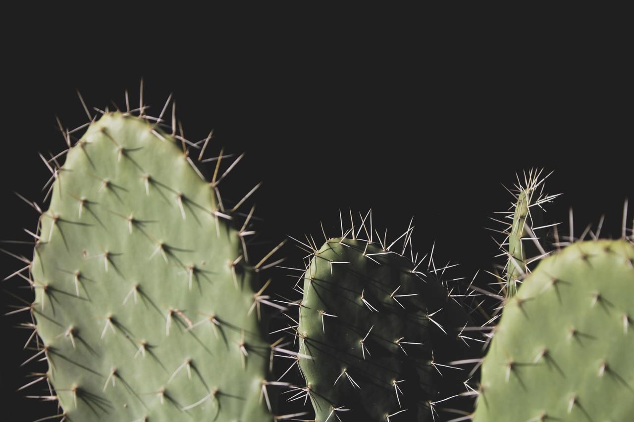 Las opuntia son cactus de rápido crecimiento