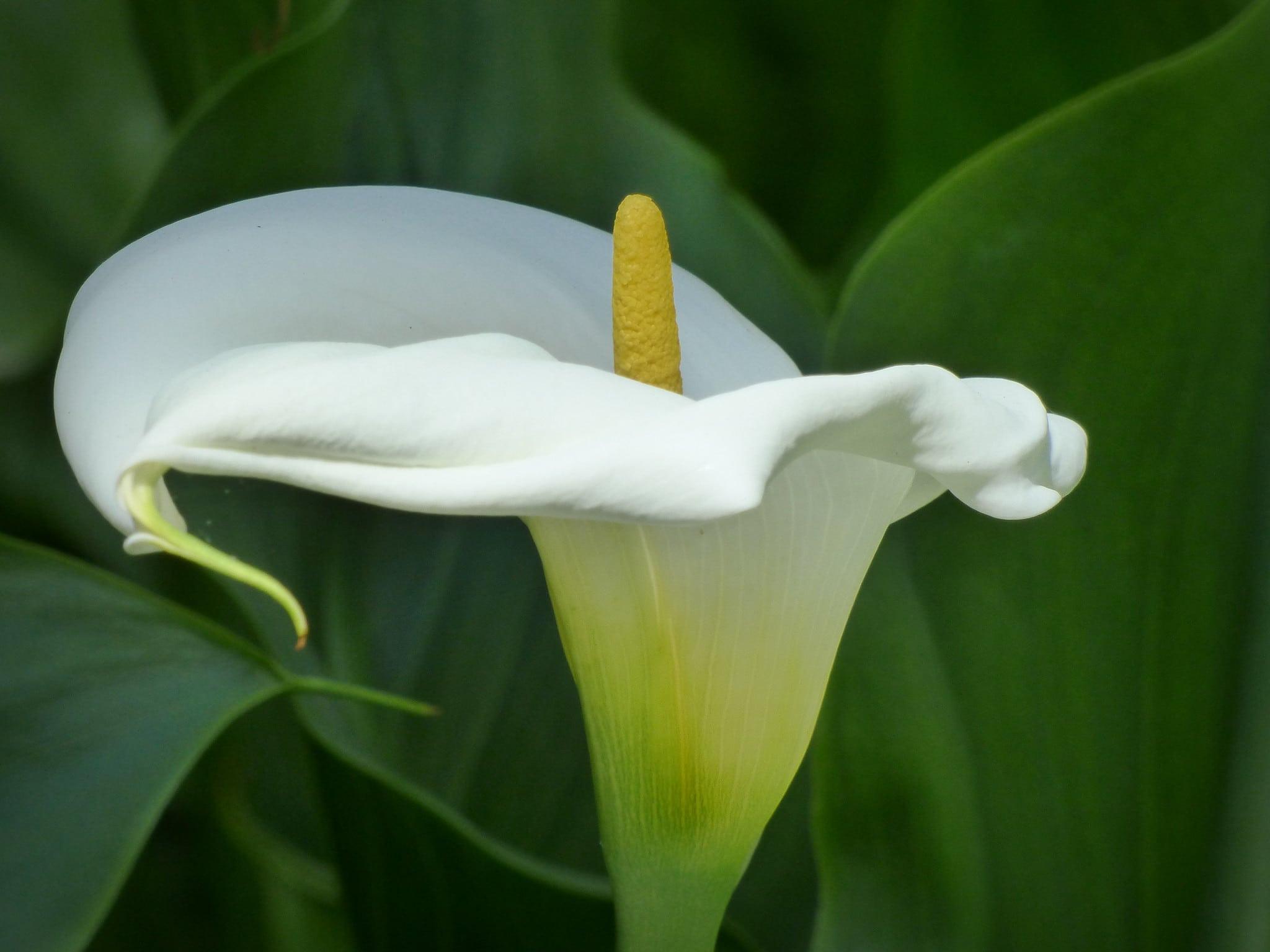 Vista de la flor blanca de cala