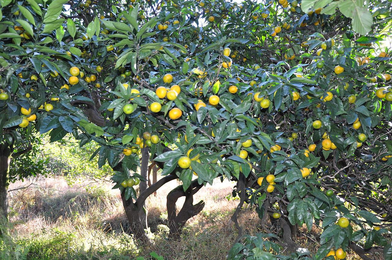 El Citrus reticulata es un frutal pequeño