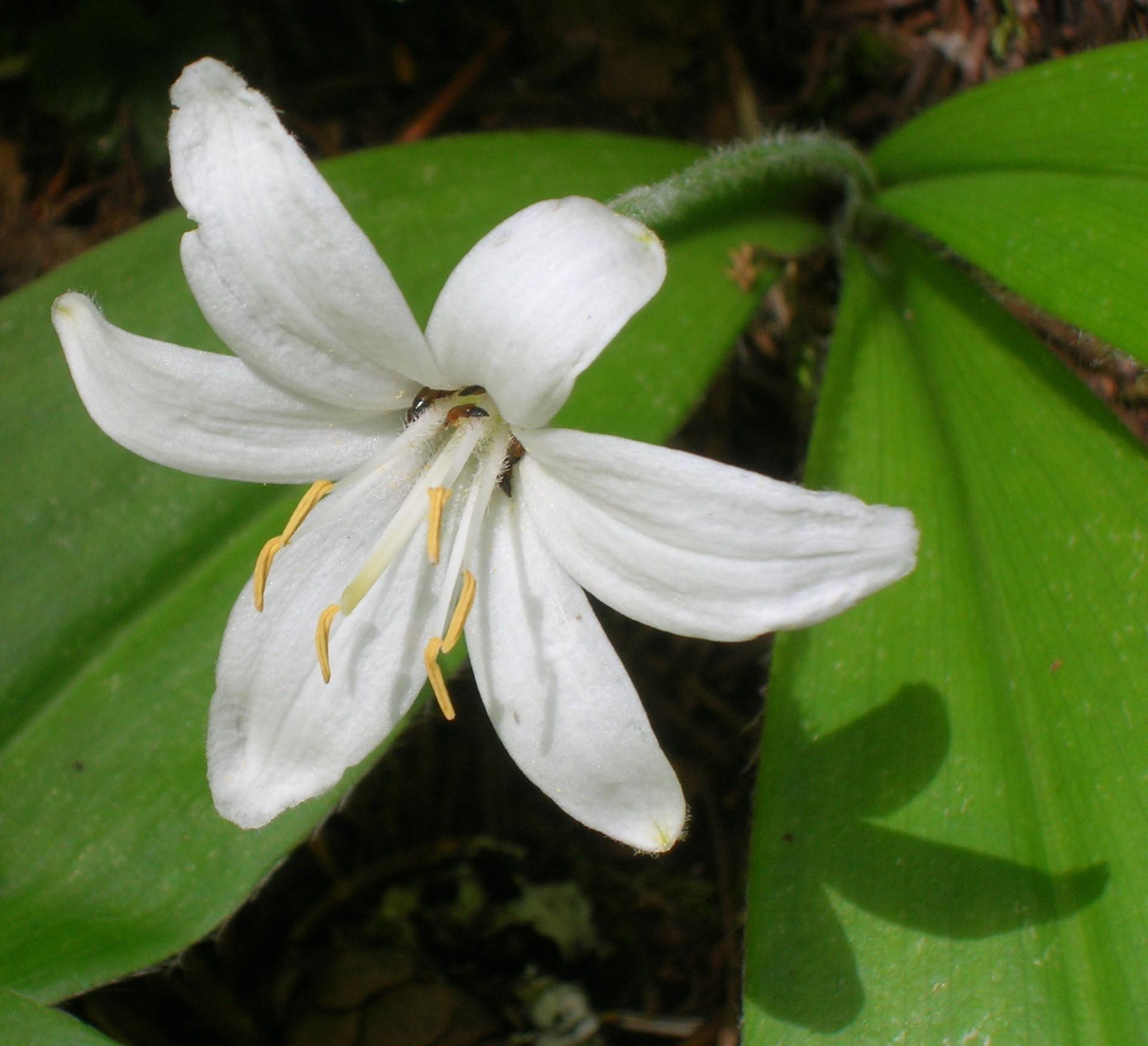 La Clintonia uniflora es una rizomatosa liliácea